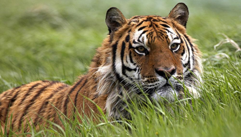 Ejemplar de Panthera tigris