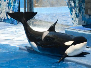 SeaWorld pone fin al programa de reproducción de orcas en cautividad