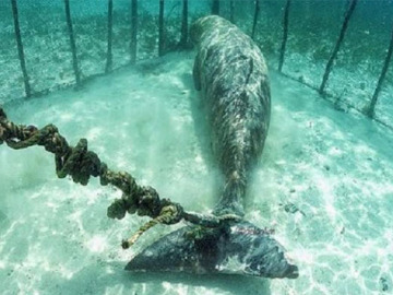 Encuentran dos dugongos que un pescador había enjaulado bajo el mar