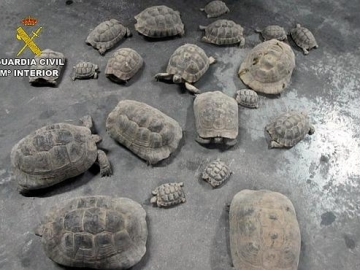 Incautan una veintena de tortugas moras en una finca de Lorca
