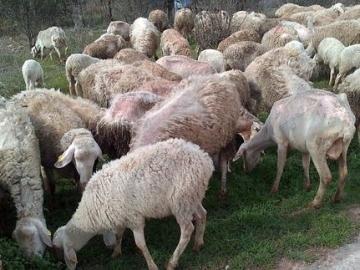 Las ovejas, desnutridas y enfermas tras el abandono.