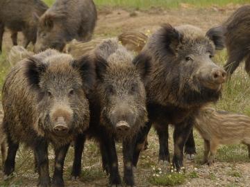 13 afectados por trisquinosis al comer carne de jabalí de una cacería