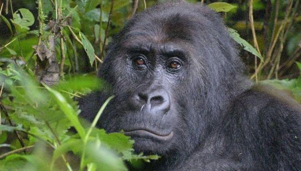El gorila más grande del mundo podría extinguirse en poco tiempo