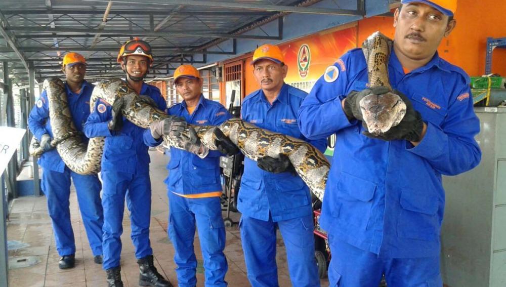 Encuentran la serpiente pitón más grande del mundo en Malasia