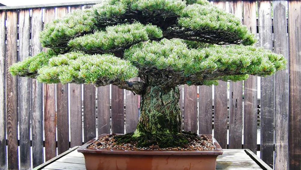 Descubre los bonsáis más legendarios y hermosos del mundo