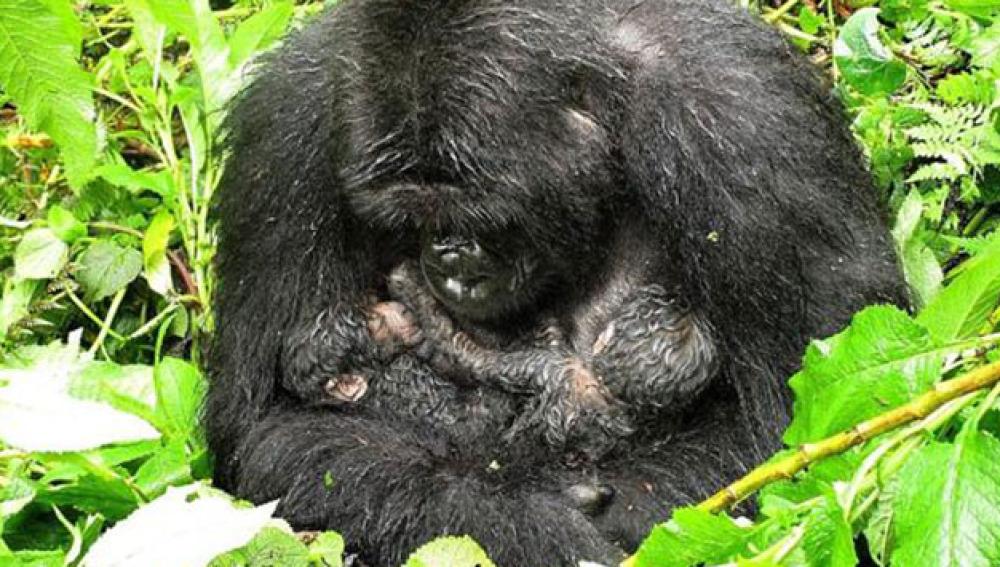 Llegan al mundo un par de gemelos de gorilas