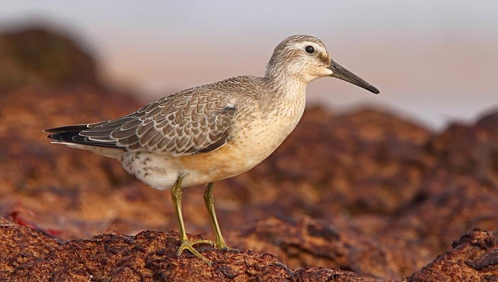 El deshielo del Ártico amenaza la supervivencia de una especie de aves