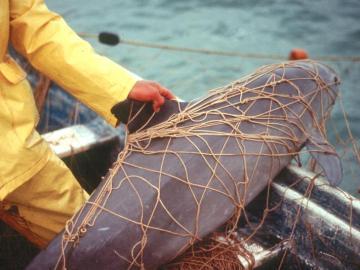 Una vaquita marina atrapada en las redes de pesca