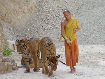 Descubren 40 crías muertas de tigre en un templo de Tailandia