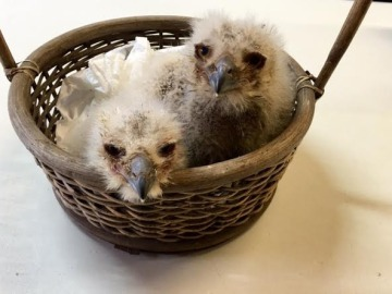 Una pareja de búhos adopta dos polluelos de águila en el Zoo de Oviedo