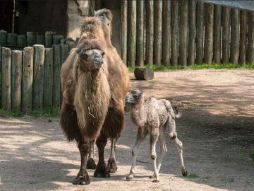 El Zoo de Chicago da la bienvenida a una cría de camello recién nacida