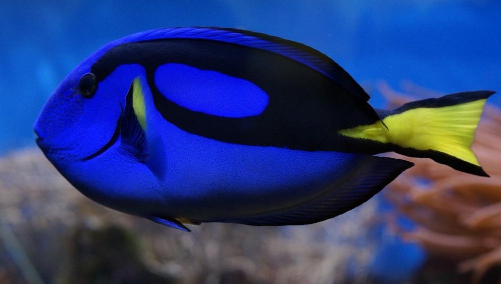 'Buscando a Dory' revive el deseo de proteger a los animales marinos y la Gran Barrera de coral