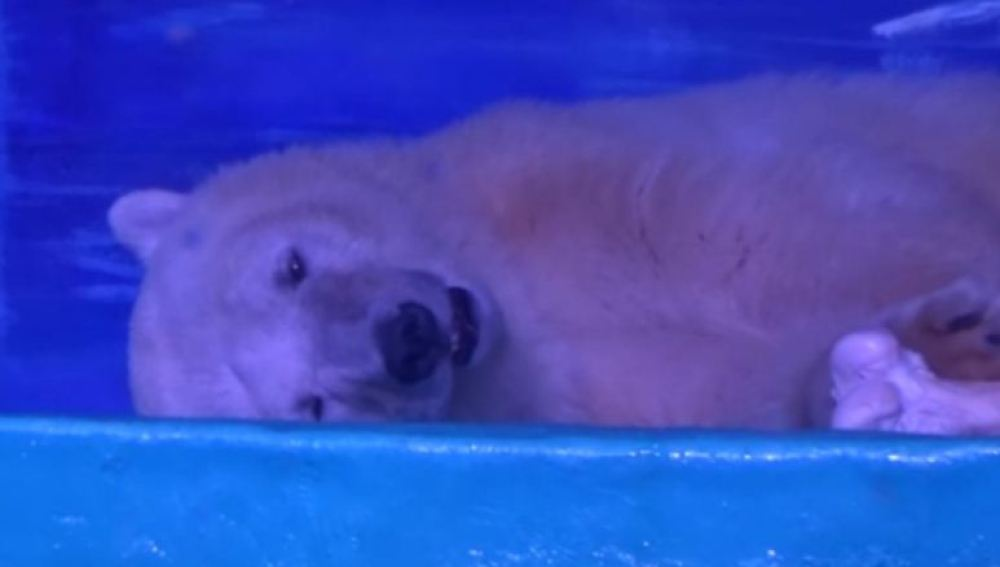 Un oso poplar vive encerrado en un centro comercial mientras posa ante las cámaras de los clientes