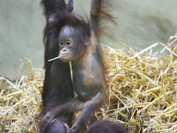 Cría de orangután de Borneo