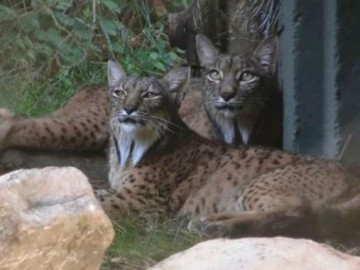Dos linces ibéricos llegan al zoo de Madrid
