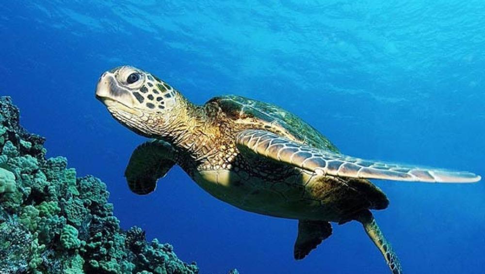 Las Islas Canarias, un lugar clave para el desarollo de las tortugas bobas