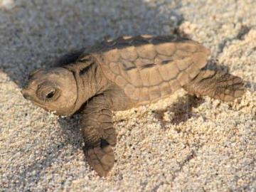 Un ejemplar de tortuga boba deposita un nido de 88 huevos en una playa de Valencia