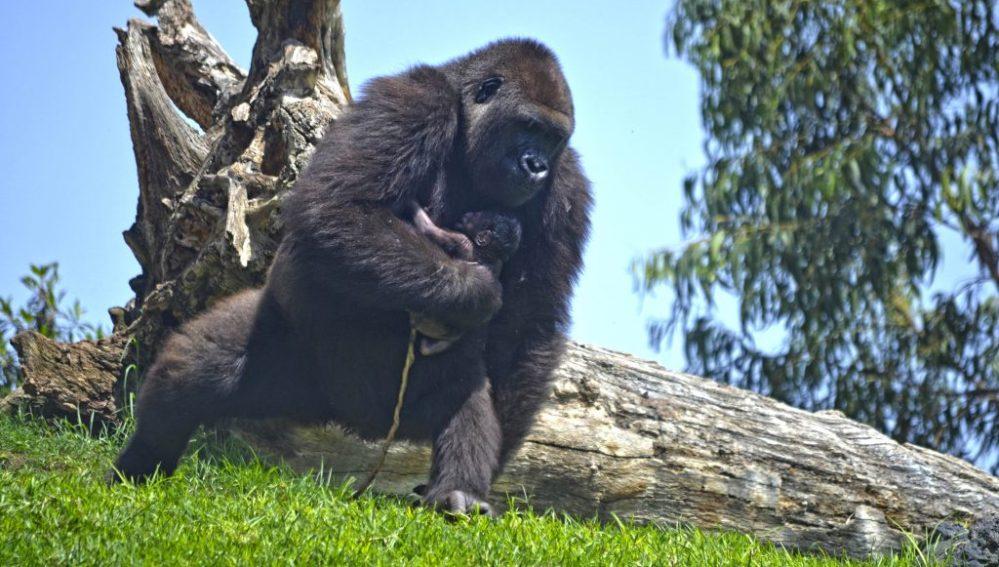 Nace un gorila en el Bioparc de Valencia