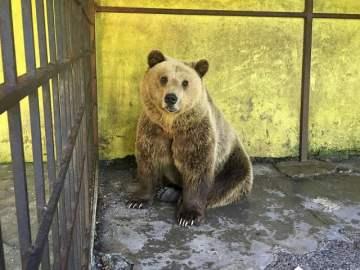 Tomi, el oso que vivió dos años enjaulado