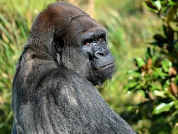 Los grandes simios al borde la extinción debido a la caza ilegal