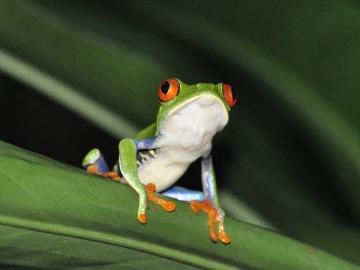 Nicaragua protege a las ranas de ojos rojos ante la amenaza del cambio climático