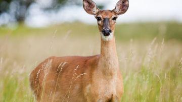 Corzo, mamífero que habita en España
