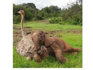 La conmovedora historia de amistad entre un avestruz y un elefante huérfanos