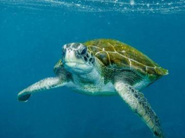 La tortuga verde, un animal en peligro crítico de extinción