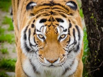 Diez curiosidades sobre los tigres