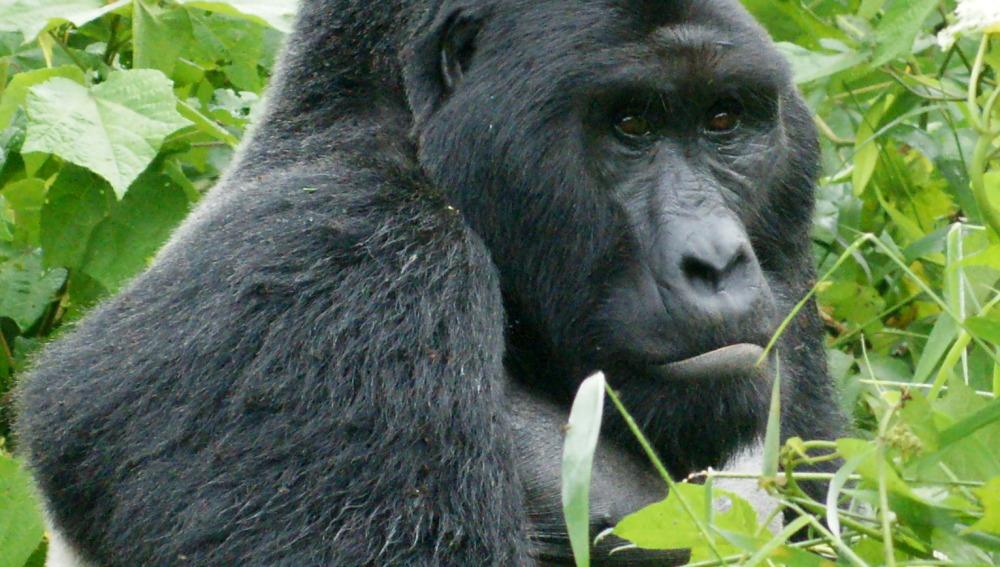El gorila oriental del Congo está en peligro crítico de extinción