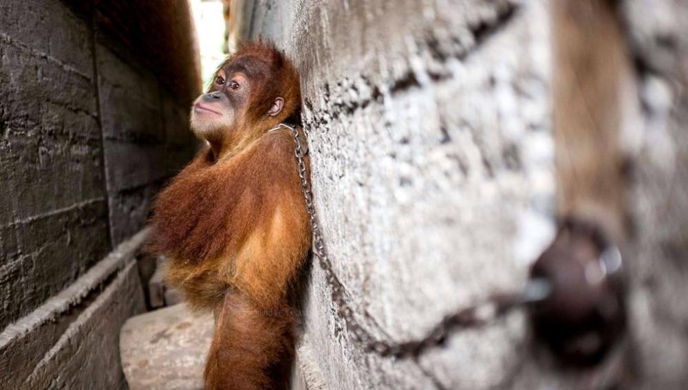 Rescatan a Minky, un pequeño orangután encadenado a una pared en Sumatra