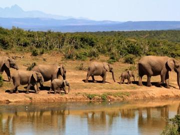La caza furtiva de elefantes africanos produce pérdidas millonarias en el turismo