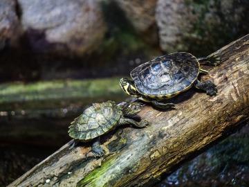 Liberadas medio millón de tortugas en la reserva natural de la Amazonia peruana.