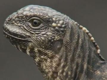 Decenas de serpientes persiguen a un lagarto en un vídeo que se ha convertido en viral