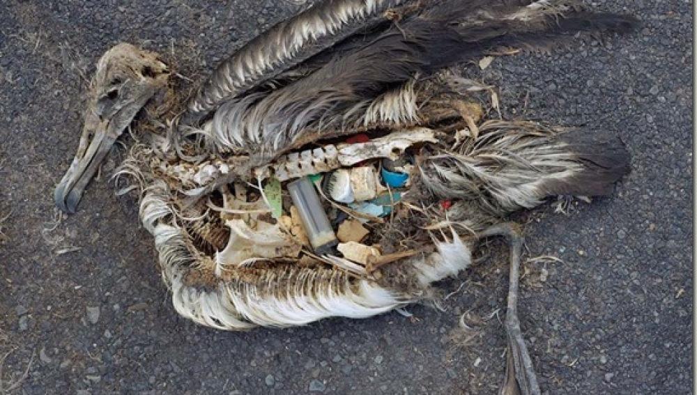 Crías de albatros afectadas por los residuos plásticos