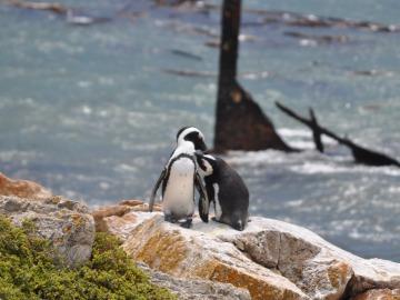 Los pingüinos sudafricanos pueden salvarse gracias a proyectos de rehabilitación