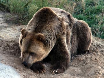 Un oso pardo muere atrapado en una trampa ilegal