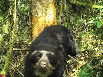 Una cámara trampa capta por primera vez al oso de anteojos