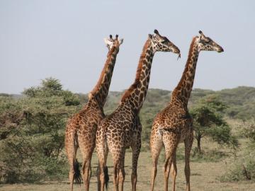 Las jirafas