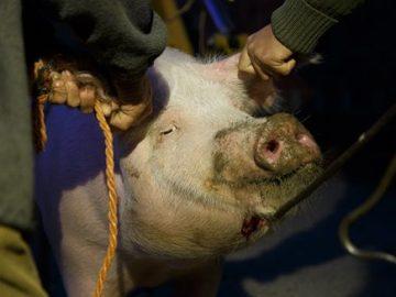 PACMA lanza una campaña en contra de las tradicionales matanzas de los pueblos españoles
