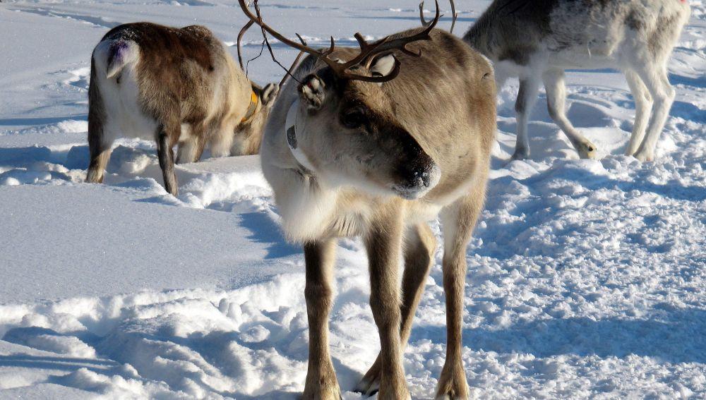 Los renos son más pequeños debido al cambio climático