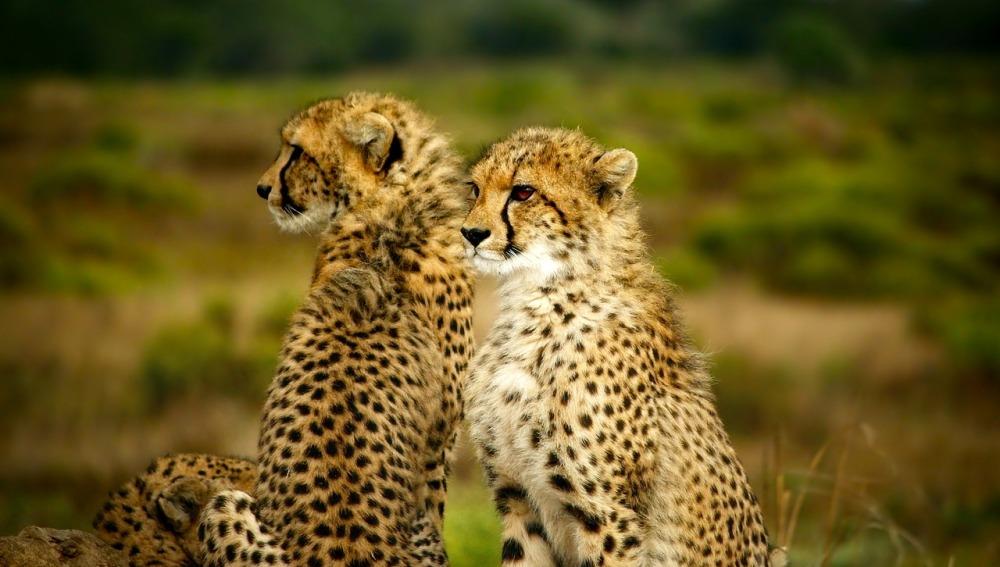 El guepardo aumenta su carrera hacia la extinción