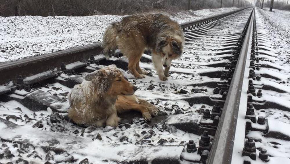 Un perro protege a su compañera herida en una vía de los trenes en marcha