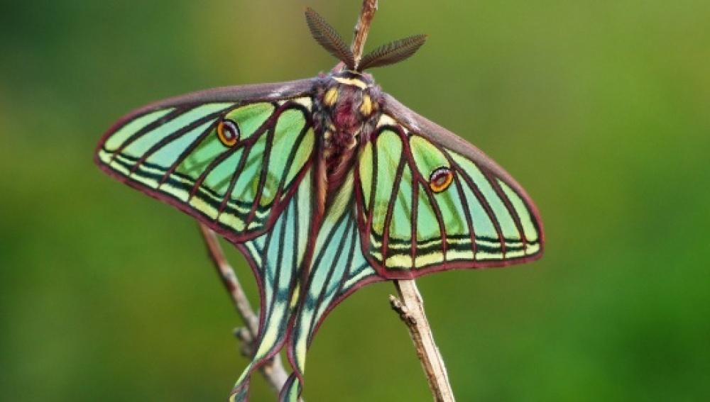 Mariposa isabelina, ganadora del año 2016