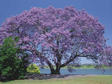 El árbol Kiri, una buena arma para combatir el cambio climático
