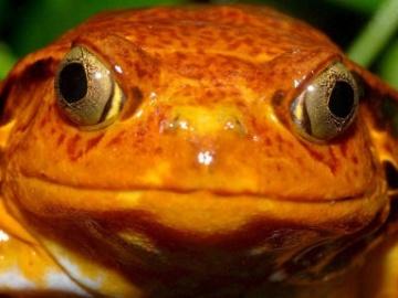 Foto de archivo de una rana tomate