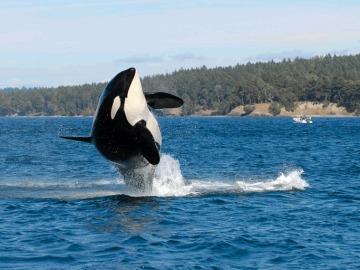 Foto de archivo de una Orca