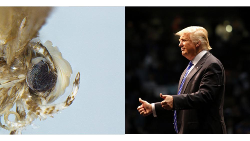 Una nueva polilla recibe el nombre de Donald Trump por imitar su peinado