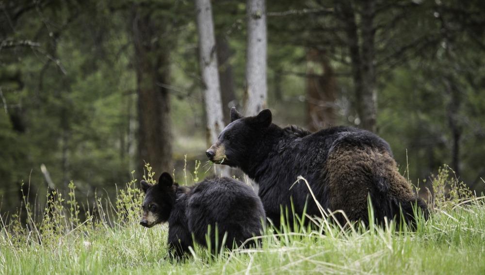 El Gobierno de Eslovenia permite la caza de 93 osos salvajes y 10 lobos