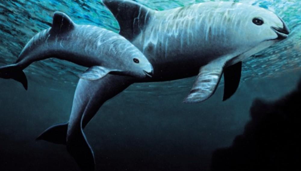 Desarrollan un plan para salvar a las 60 vaquitas marinas que quedan en el mundo